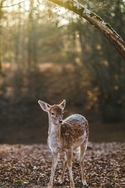 Bambi im Wald  Photo by Nicomiot Photographies on Unsplash